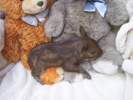 Chrystals  Mini Pigs