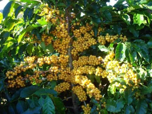 Brazilian Yellow Bourbon Coffee Whole Beans Fresh Roasted Daily 2 / 1 Pound Bags