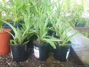 BULK 10 AGAVE SEEDLINGS WITH ROOTS Nome Townsville Surrounds Preview