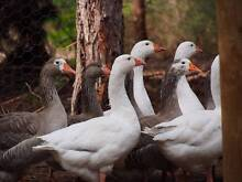 Pilgrim Geese Nannup Nannup Area Preview
