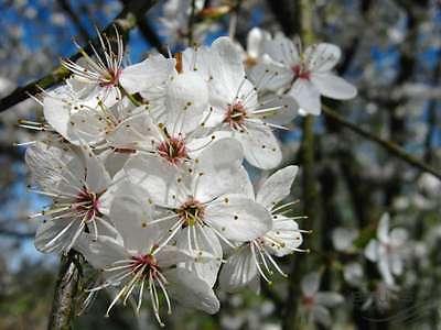 45 Cherry Plum - Prunus Cerasifera / Myrobalan - 30cm