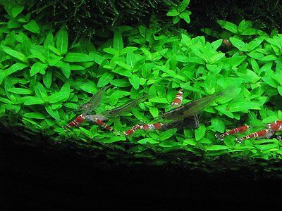 Staurogyne Repens - Rare Live Aquarium Plants Moss Foreground Carpet Fish Tanks