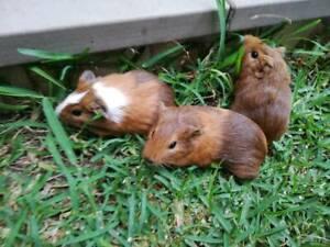 Baby Guinea Pigs x 2 girls