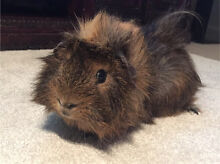 Young Male Guinea Pig Tugun Gold Coast South Preview