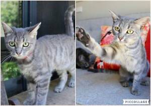 AK2991/AK2992 : Cagney/Lacey - CATS to ADOPT - Vet Work Inc
