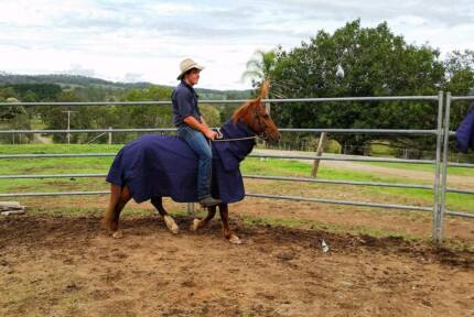 QH x Horse Gelding