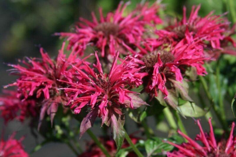 MONARDA  - BEEBALM - PLANT - MISCELLANEOUS COLORS