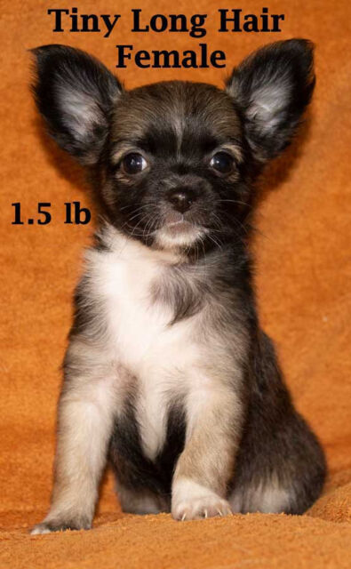 READY NOW ONE PEDIGREE LONG HAIR CHIHUAHUA FEMALE PUPPY £500 | in Hull,  East Yorkshire | Gumtree