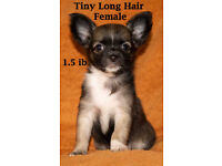 1 PEDIGREE LONG HAIR CHIHUAHUA FEMALE PUPPY FOR SALE