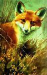 Rimrock Fox