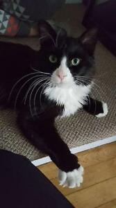 "Young Male Cat - Domestic Long Hair (Black & White): ""Jingles"""