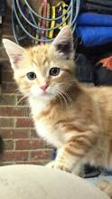 Wanted: Domestic Ginger or Black and White Kitten Woongarrah Wyong Area Preview