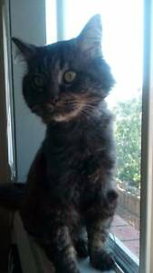 Mo - Cat For Adoption - Cheltenham Cat Rescue Noble Park Greater Dandenong Preview