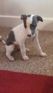 Whippet Pup Female Keilor Downs Brimbank Area Preview