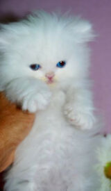 Exceptional Gccf Reg Persian Kittens