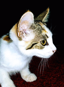 Beautiful kitten for sale - energetic curious affectionate gentle Peakhurst Hurstville Area Preview