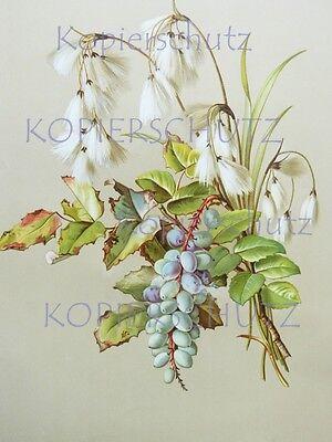 alte LITHOGRAPHIE Blumen BLÜTEN um 1900  Sommerblumen