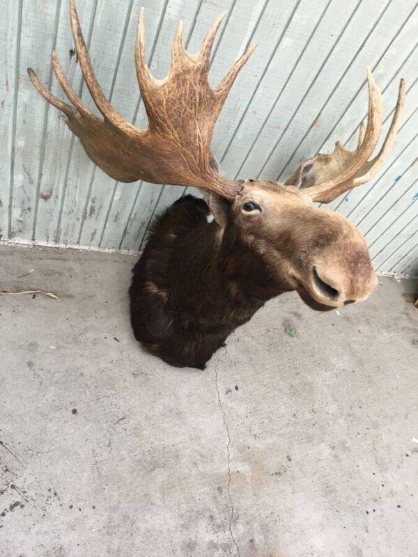 Moose Taxidermy Wall Mount Original From Abercrombie Store