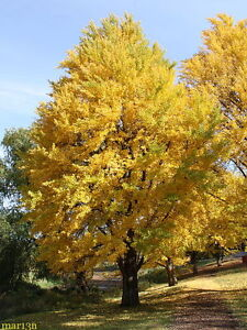 Ginkgo Tree (maidenhair tree-ginkobiloba)