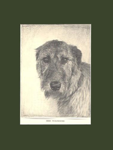 RARE Irish Wolfhound Dog Drawing Print 1935 by Malcolm Nicholson 10X13 Mat
