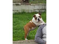 KC Reg british bulldog bitch