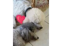 2 Miniture Poodles, Sadly Rehoming