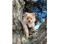 Pomeranian cross puppy girl