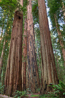 redwood COASTAL, tallest TREE, sequoiadendron sempervirens, 14 ...