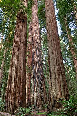 redwood COASTAL, tallest TREE, sequoiadendron sempervirens, 14 ...