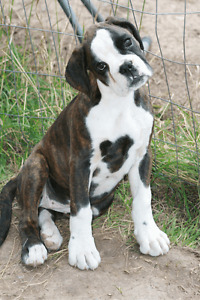 Pure Breed Boxer Puppies for Sale