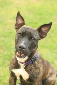 """Splash"" Staffordshire Terrier Mix - Available for Adoption Gawler Gawler Area Preview"