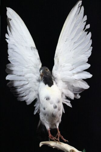 Taxidermy bird spread wing pigeon home deco party crafts gift christmas display
