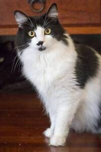 AC0220 : Justine - CAT for ADOPTION - Vet Work Included Morley Bayswater Area Preview