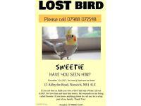 Missing cockatiel, Norwich