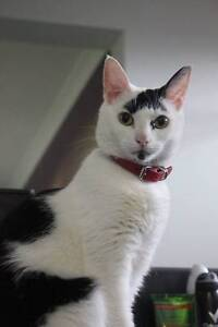 Gie - Cat For Adoption - Cheltenham Cat Rescue Diggers Rest Melton Area Preview
