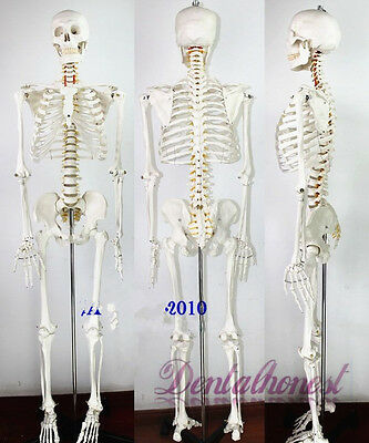 (170cm Life Size Man Human Anatomical Anatomy Skeleton Medical Model With Stand)