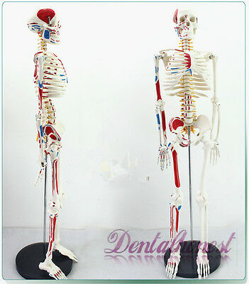 (Best 85cm Human Anatomical Anatomy Skeleton Medical Model Muscle +Stand Fexible)