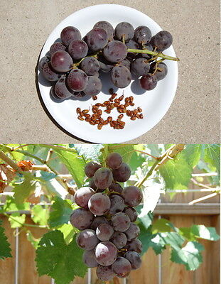Delicious California Kyoho Table Grape Seeds, 20 Seeds on Rummage