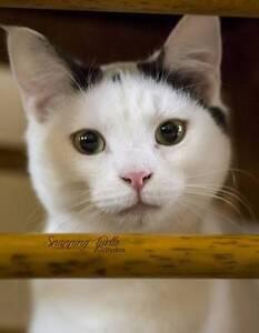 Ophelia – Cat for adoption – Forever Friends Animal Rescue Diamond Creek Nillumbik Area Preview