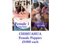 FEMALE CHIHUAHUA PUPIES £1000