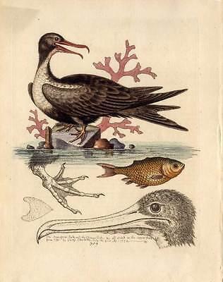 Wasser-Vogel-Vögel-Koralle Edwards Kupferstich 1758