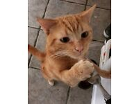 MISSING - Ginger Male Cat