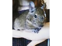 Young male degu for sale, with cage amd accessories