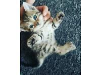 X bengal kittens