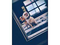 Chihuahua male gorgeous chap!