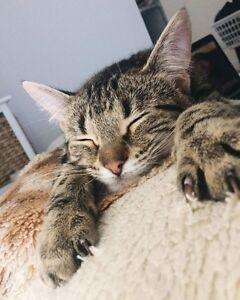 Cat for adaoption (Arabella) North Melbourne Melbourne City Preview