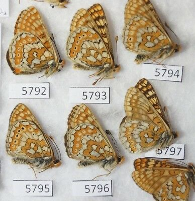 Euphydryas Aurinia Calima 13M Nymphalidae  Price For Each