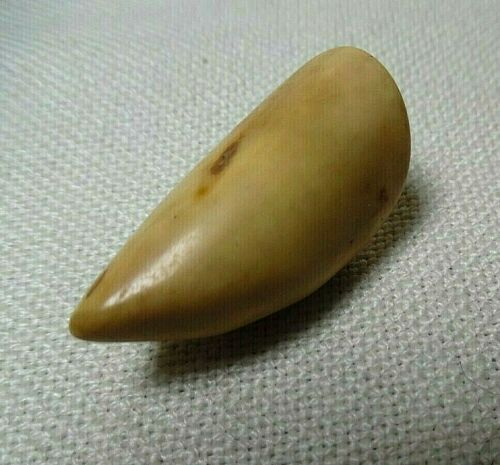 LARGE POLISHED ANIMAL TOOTH CAN BE USED AS A PENDANT
