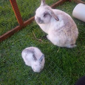 Netherland Dwarf lop eared baby rabbits Mount Gambier Grant Area Preview