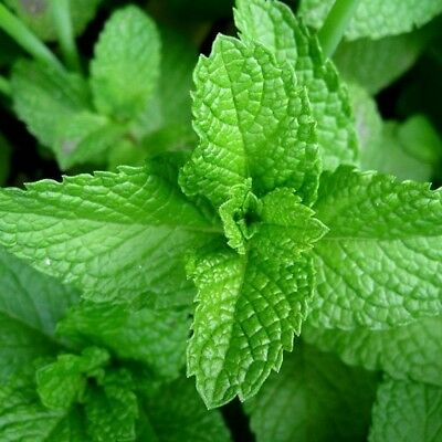 Mint   Lime  1 Live Plant     Herb   Ships Immediately   Groco Usa